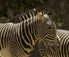 Free Zebra Royalty Free Stock Image - 2890086