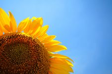Free Sunflower Stock Image - 2890441