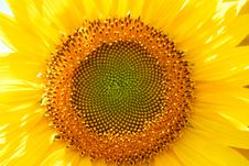 Free Sunflower Stock Images - 2890464