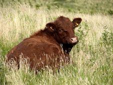 Free Limousin Cow Royalty Free Stock Photos - 2891238