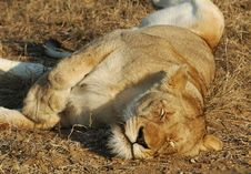 Free Female Lion Sleeping Stock Photos - 2891403