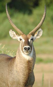 Free African Waterbuck Antelope Stock Photos - 2891603