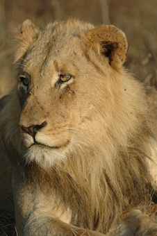 Free Male Lion Royalty Free Stock Photography - 2891717