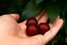 Free Cherry Plum Stock Photo - 2892610