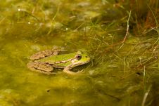 Free Frog In Pond Royalty Free Stock Image - 2892666
