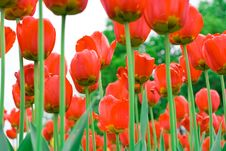 Free Red Tulips Royalty Free Stock Photo - 2893915