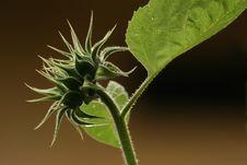 Free Teenage Sunflower Royalty Free Stock Image - 2894036
