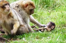 Free Baby Monkey With The Parents Stock Image - 2894101