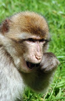 Free A Monkey Royalty Free Stock Photos - 2894218