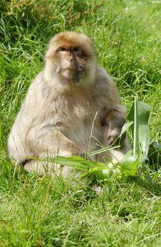 Free A Alert Monkey Stock Image - 2894221