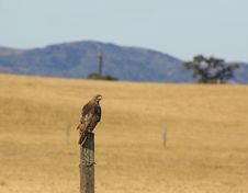 Free Red-tailed Hawk On Post Stock Image - 2894831