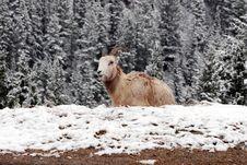 Free Long Horn Sheep Royalty Free Stock Photos - 2897238
