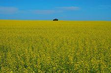 Free Canola Field Royalty Free Stock Photo - 2897305
