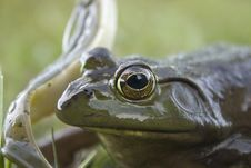 Free Frog Close-up Stock Photos - 2897433