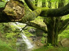 European Or Common Beech Stock Images