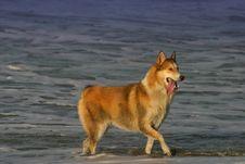 Husky Dog On Beach Stock Image