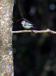 Free Blue Tit Bird Photo Stock Photo - 2897890