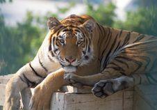 Free Tiger Royalty Free Stock Image - 2898106