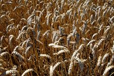 Ripening Summer Wheat Stock Images
