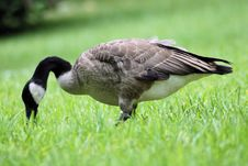 Free Goose In Grass Royalty Free Stock Photos - 2899038