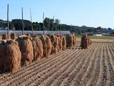 Free Autumn Rice Field Stock Photos - 2899103