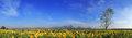Free Sunflowers Field With Blue Sky, Thailand Royalty Free Stock Image - 28900596