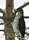 Free Sharp-Shinned Hawk &x28;accipiter Striatus&x29; In A Snowstorm Royalty Free Stock Photos - 28907108