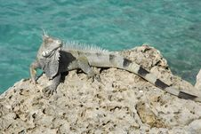 Free Green Iguana By The Sea Royalty Free Stock Images - 28901489