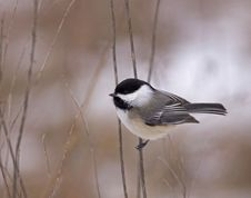 Free Black-capped Chickadee Stock Photography - 28903772