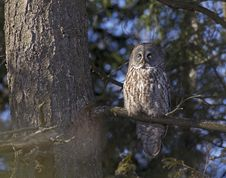 Free Great Gray Owl Royalty Free Stock Photography - 28903777