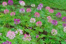 Multi-colored Cleome &x28;spider Flower&x29; In Garden Stock Photos