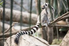 Free Lemur In The Jungle Royalty Free Stock Image - 28906426