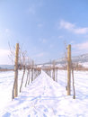 Free Vineyard In The Winter Time Stock Images - 28910844