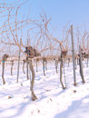 Free Vineyard In The Winter Time Stock Image - 28910901