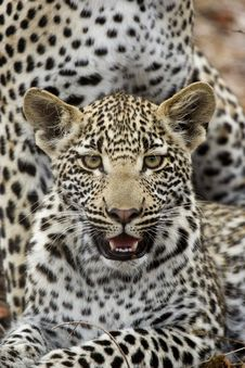 Free Leopard Cub Stock Photos - 28910173