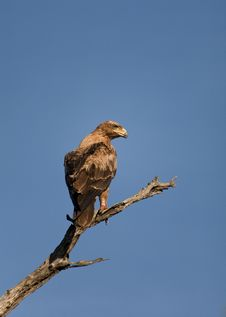 Eagle Perched On Branch Against Blue Sky Stock Photo