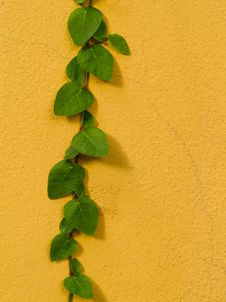 Free Color Wall With Green Creeper Stock Photo - 28919580