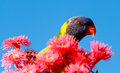 Free Rainbow Lorikeet Stock Photos - 28928763