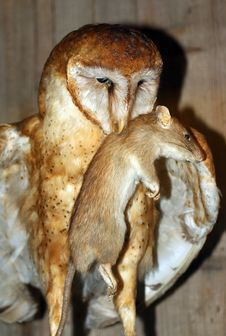 Barn Owl Dinner Stock Photo