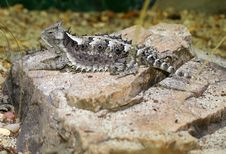 Free Horned Lizard Stock Image - 28927191