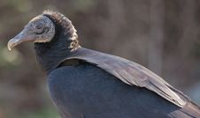 Free Black Vulture Royalty Free Stock Photos - 28927458