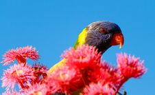 Free Rainbow Lorikeet Stock Photos - 28928763