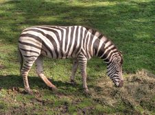 Free Zebra Stock Photo - 28929100