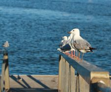 Free Seagulls In Line Royalty Free Stock Photo - 28929155