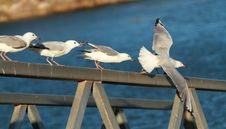 Free Seagulls About To Fly Royalty Free Stock Photo - 28929175