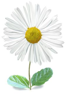 Free Isolated Single Bellis With Clipping Path Royalty Free Stock Photo - 28938415