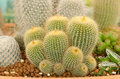 Free Cactus Royalty Free Stock Photography - 28946227