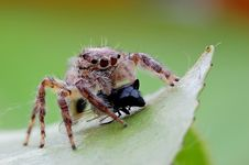 Free Jumping Spiders Food Royalty Free Stock Image - 28945586