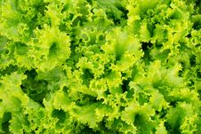 Free Green Lettuce Background Royalty Free Stock Photography - 28946597
