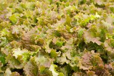 Free Green Lettuce Background Stock Image - 28946711